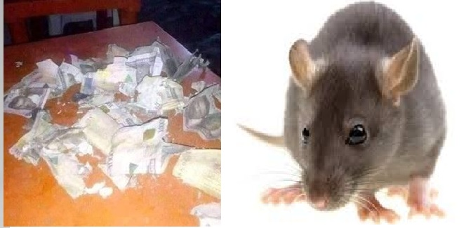 Mysterious Rats Eats Christmas Savings, Man Cries For Help